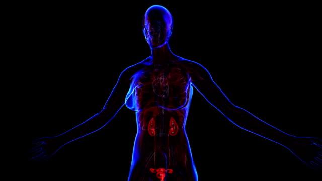 雌泌尿器系 - 動物の雄点の映像素材/bロール