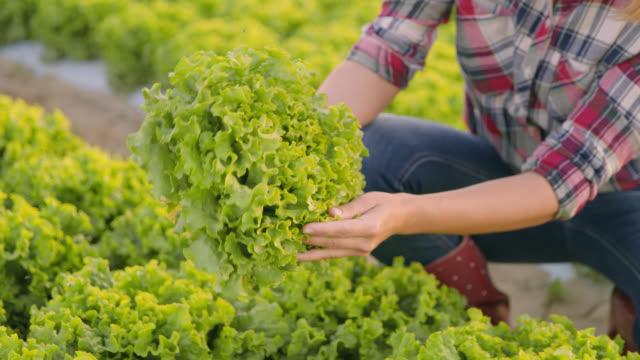 md female vegetable grower analyzing lettuce growth - gospodarstwo ekologiczne filmów i materiałów b-roll