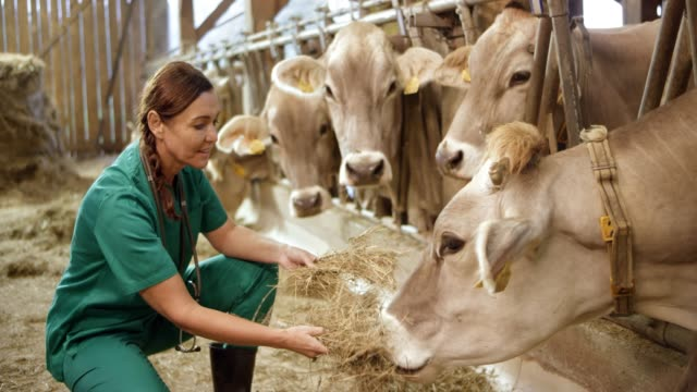Female veterinarian feeding cattle some hay in the barn video
