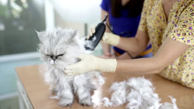 Female Veterinarian Is Cutting Hair of Persian Cat Using Hair Clipper video