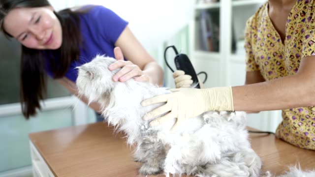 Female Veterinarian Is Trimming Hair of Domestic Cat Using Hair Clipper video