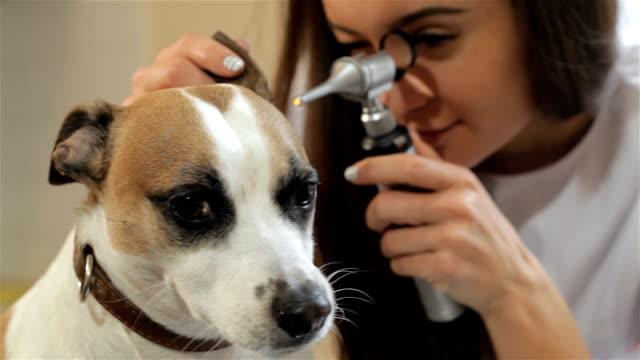 kadın veteriner özel tıbbi aracı bakarak - kemirgen stok videoları ve detay görüntü çekimi