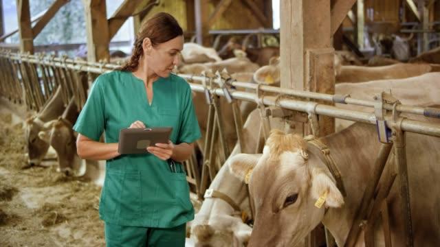 kvinnliga veterinär observerar en cow i boskapen ladan och skriva något ner - nötkreatur bildbanksvideor och videomaterial från bakom kulisserna