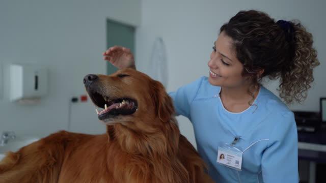 kvinnlig veterinär strök en vacker golden retriever och sedan inför kamera leende - veterinär, undersökning bildbanksvideor och videomaterial från bakom kulisserna