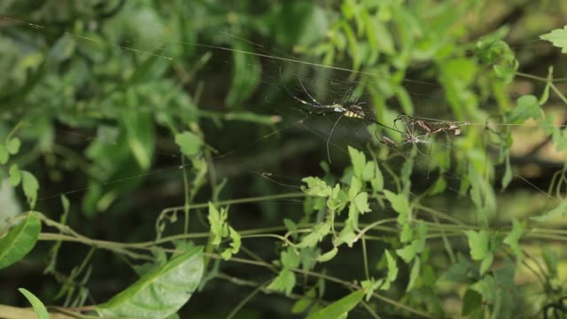 a female wasp spider with the male reproduction in the mountain forest - arto inferiore animale video stock e b–roll