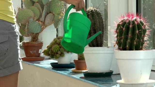 female watering decorative cactus in pot windowsill indoor
