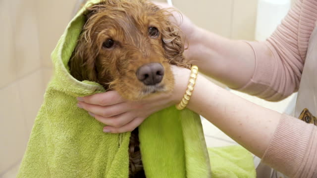 Female wipes cocker spaniel with towel after shower video