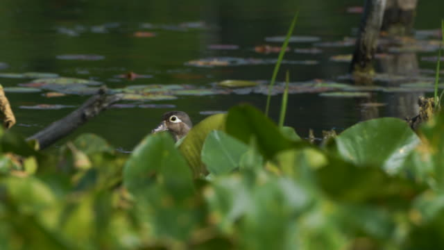 female woodduck swimming through marsh with lily pads in foreground - parco nazionale video stock e b–roll