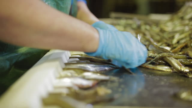 Female worker in blue gloves selecting fish for smoking. Fish conveyor, processing sprat canning plant, montage - video