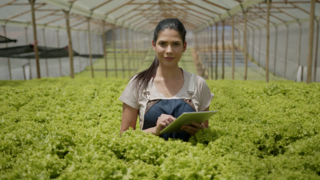 vídeos de stock e filmes b-roll de female worker working at a lettuce crop in a greenhouse and using a digital tablet while checking crop and facing camera - agricultora