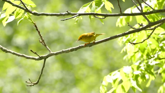 Female yellow warbler with faded markings on body on beautiful sunny day