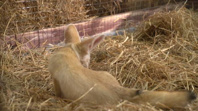 Fennec fox o zorro del desierto - vídeo