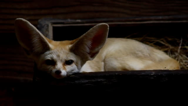fennec - orecchio umano video stock e b–roll