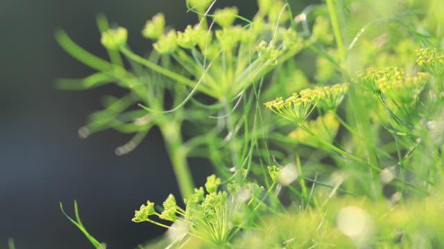 stockvideo's en b-roll-footage met venkel (foeniculum vulgare) in groei bij tuin - venkel