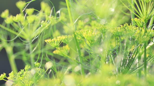 stockvideo's en b-roll-footage met venkel (foeniculum vulgare) in de groei in de tuin - venkel