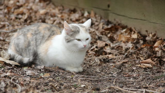 Feral Kitty Feral kitty (about 5-6 months old, dilute calico) sitting in dried leaves. tortoise shell stock videos & royalty-free footage