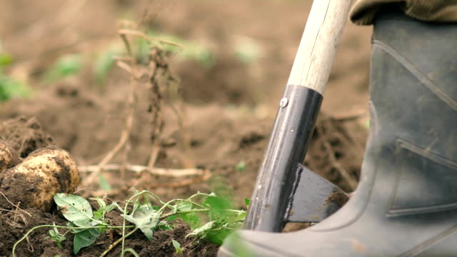 fermer digging the earth with forks to find potatoes slowmotion. organic food concept video