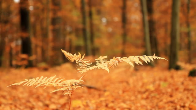 HD DOLLY: Fern In Autumn Forest HD1080p: DOLLY CLOSE-UP shot of a fern with an autumn forest in background. light natural phenomenon stock videos & royalty-free footage