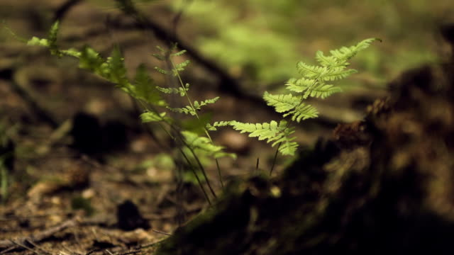 vídeos de stock, filmes e b-roll de fern em floresta - ecossistema