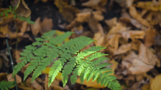 fern leaf sways in the wind in a sunny autumn forest