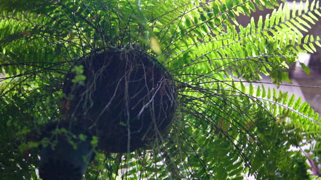 Fern plant hanging top with pot.