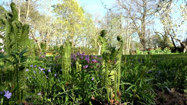 fern plant spiral buds unfolding leaves in spring garden. video