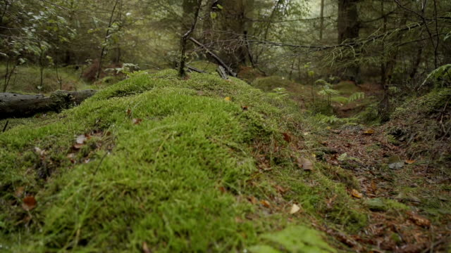 Fern Plants In An Ancient Woodland video