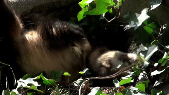 ferrets playing and searcher video