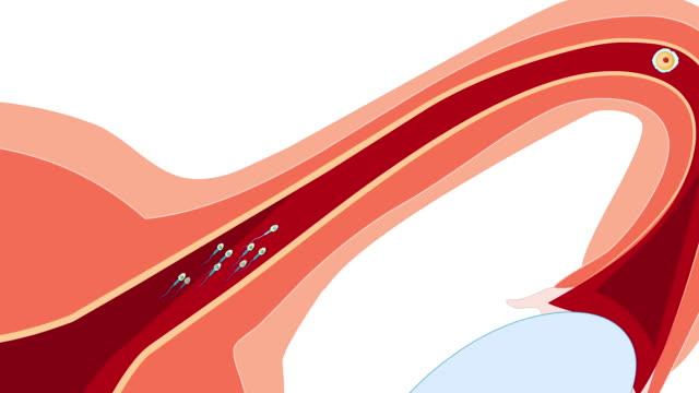 döllenme: yumurtlamadan implantasyona kadar. - üreme organı stok videoları ve detay görüntü çekimi