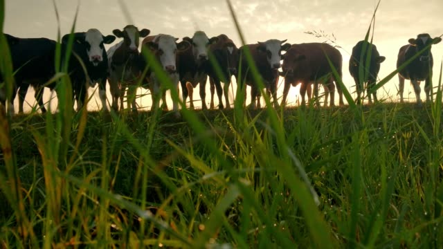 Few cows on relaxed on pasture during sunrise
