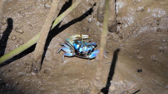 Fiddler crab in wetlands forest.
