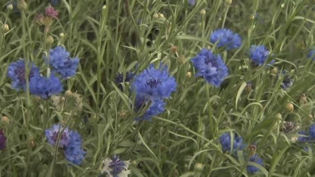Field flowers cornflowers (Centaurea cyanus). Cornflower  an annual or biennial plant with a straight stem up to 50-80 cm tall. Flowers are collected in a basket. There are white, blue, yellow, pink, purple, blue, red and maroon.