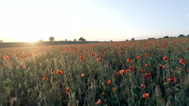 vídeos y material grabado en eventos de stock de campo lleno de amapolas rojas en el verano - amapola planta