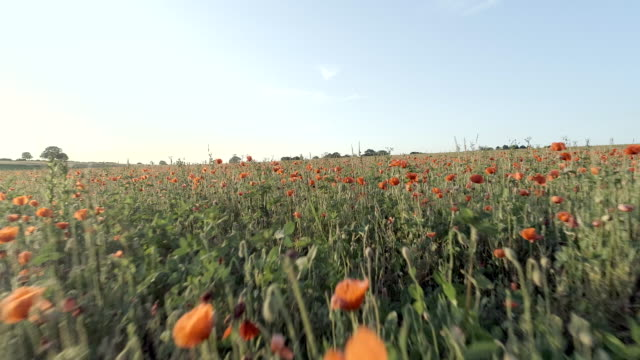 Field Full of Red Poppies in the Summer