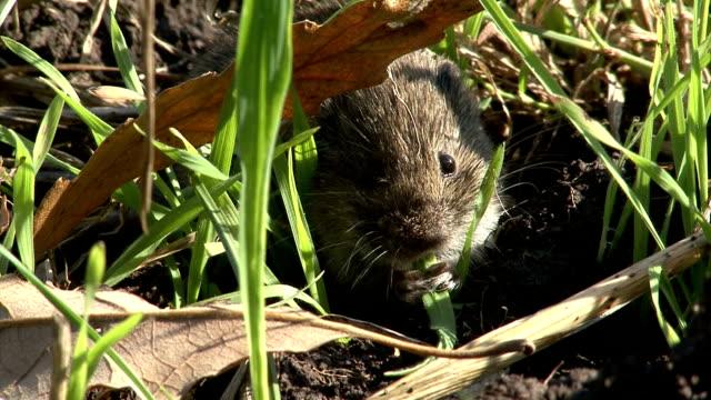 들쥐 식사 잔디 굴절률은 농업학 필드에 위트 - 풀 벼과 스톡 비디오 및 b-롤 화면