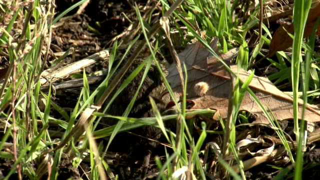 Field Mouse eating grass on the agriculture field with wheat Small Field Mouse eating grass on the rural field in front oh the hole. Eye level shot HDR animal whisker stock videos & royalty-free footage
