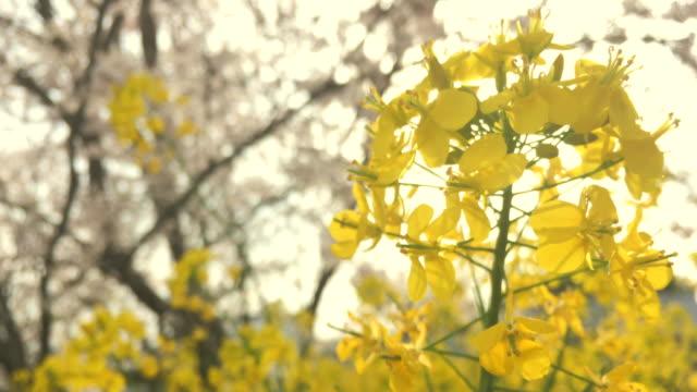 Field mustard video