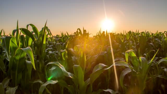 MS DS Field Of A Corn