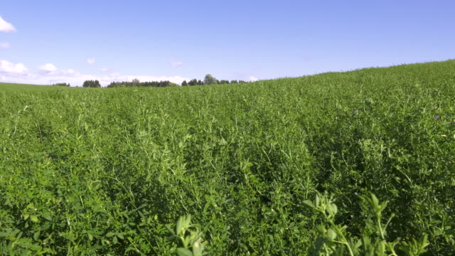 a field of alfalfa crops ready for harvest. 4k video. - erba medica video stock e b–roll
