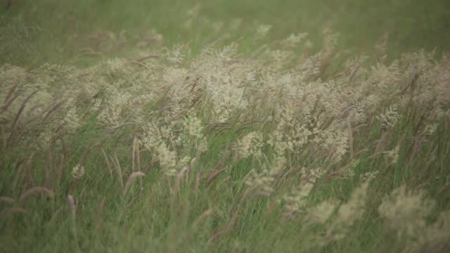 field of alfalfa - erba medica video stock e b–roll