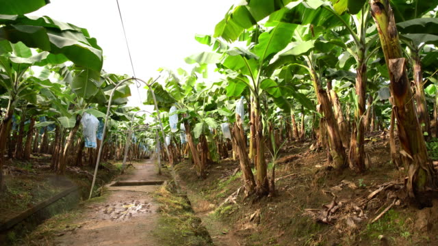 DS Field of banana trees in Costa Rica video