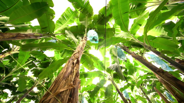 DS Field of banana trees video