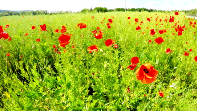 Field of blooming poppies video