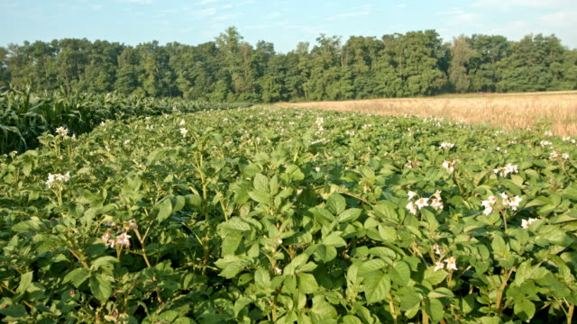 DS Field of blooming potato plants video