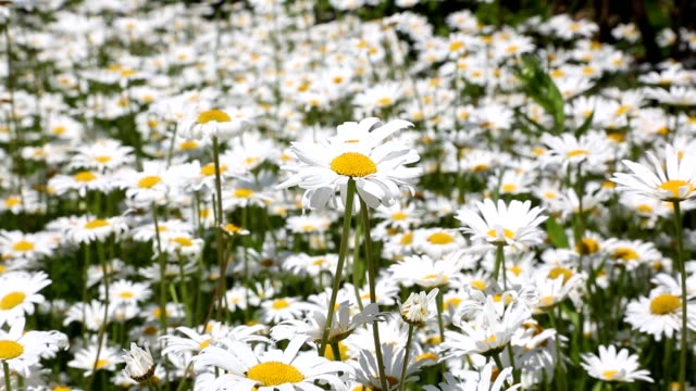 field of blooming white daisies swaying in the wind - pistillo video stock e b–roll