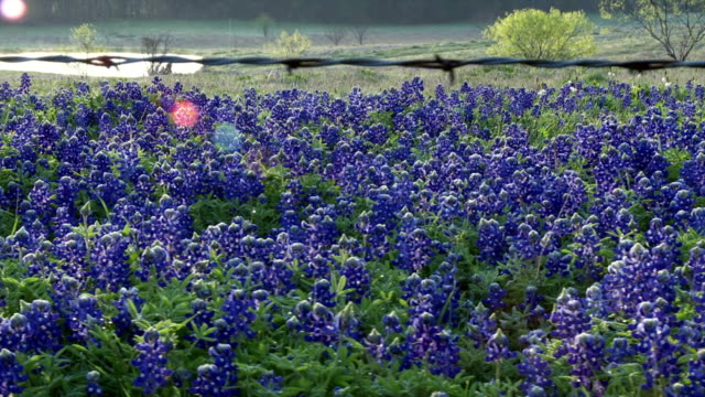 Field of bluebonnets behind barbed wire fence