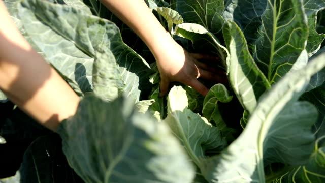 field of cauliflower - crucifere brassicali video stock e b–roll