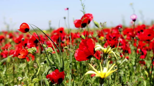 field of close up moving blossoming red poppies - chiedere scusa video stock e b–roll