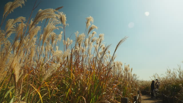 Field of cogon grass of lalang flower blow by the wind at Haneul Park in Seoul, South Korea