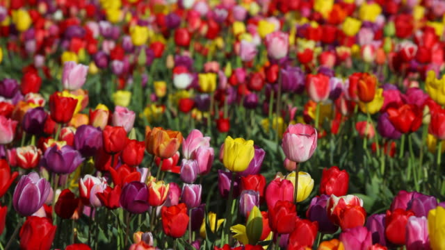 HD field of colorful tulips video
